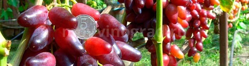 ягоды-винограда-Клеопатра-фото