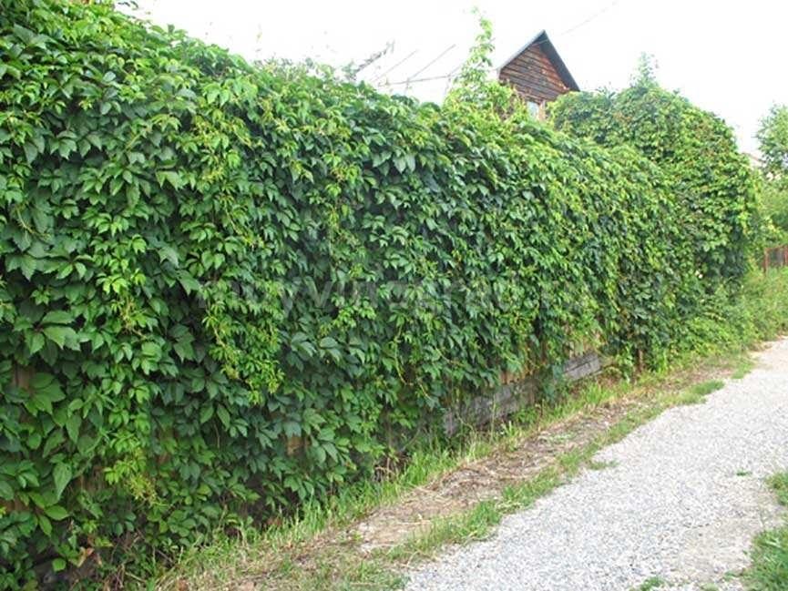 живая-изгородь-из-девичьего-винограда-фото