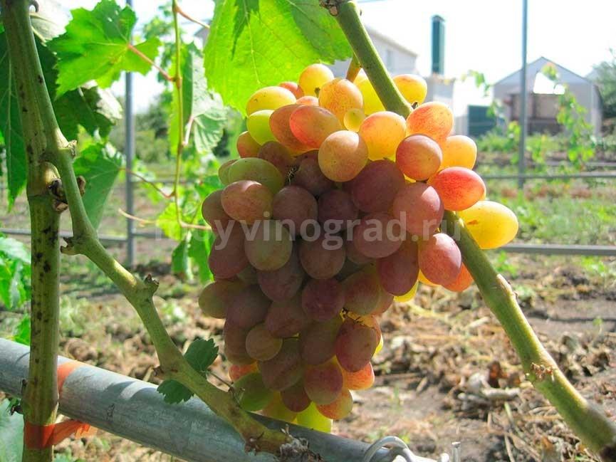 Донские-зори-сорт-винограда-фото