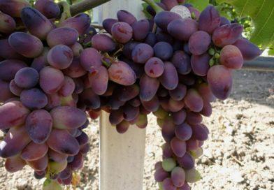 Виноград «Красотка» — эффектный сорт с необычными ягодами