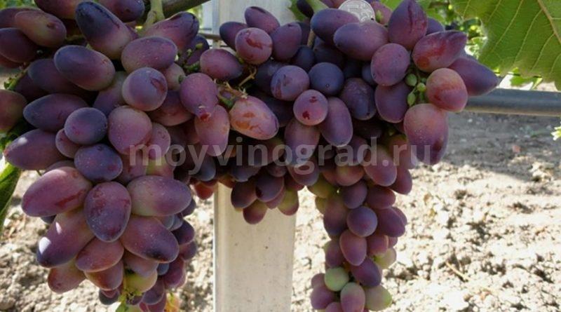 Гибридный виноград Красотка-фото
