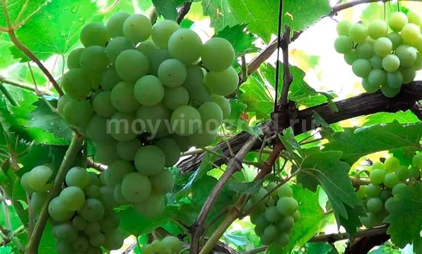 Кисть-винограда-Галбена-Ноу-фото