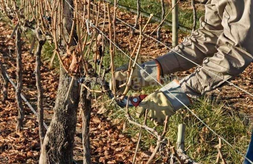 Обрезаем-и-формируем-виноград-фото