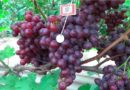 Винограда «Низина» — высокоурожайная гибридная форма