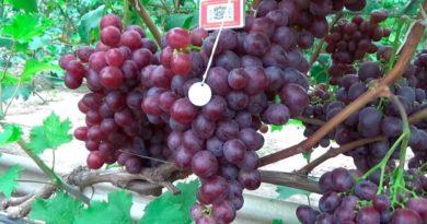 Сорт-винограда-Низина-фото