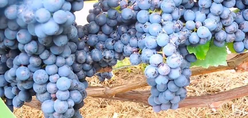 Урожай-винограда-памяти-домбковской-фото