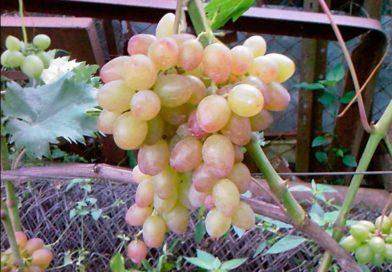 Виноград «Багровый» — раннеспелый сорт