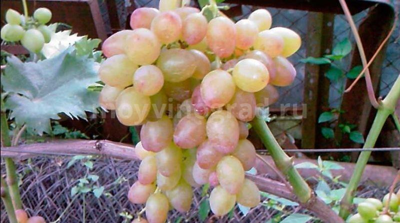 Виноград-Багровый-фото