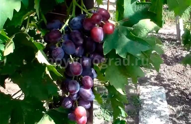 говорю всех, сорт винограда низина куст с урожаем фото нашем