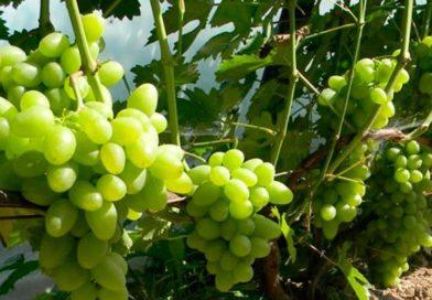 Виноград «Тукай» — лежкий, морозостойкий сорт