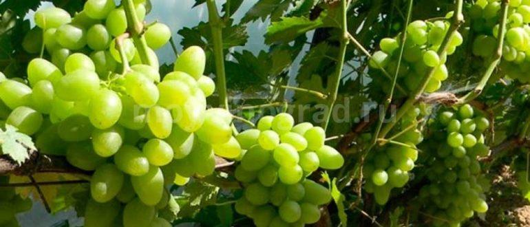 Виноград-Тукай-фото