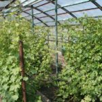 Виноград-в-теплице-фото