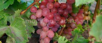 как-выглядит-виноград-азалия-фото