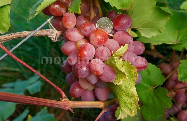 """Виноград """"Азалия"""": описание сорта, фото, отзывы: https://moyvinograd.ru/sorta-vinograda/azaliya-opisanie-foto-otzyivyi.html"""