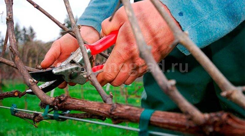 осенняя-обрезка-винограда-фото