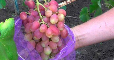 виноград-Ксения-фото