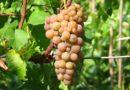 «Солярис» — морозостойкий технический сорт винограда