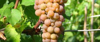 виноград-солярис-фото