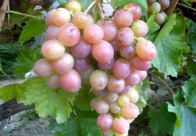 Виноград «Амирхан» — сорт розового цвета