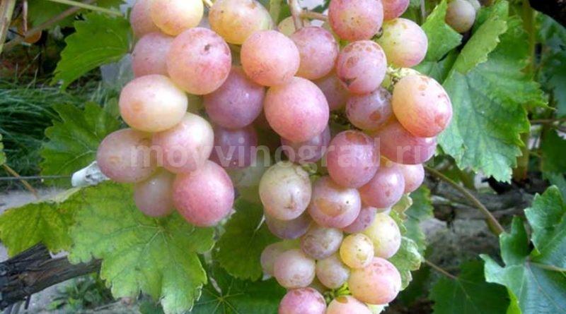 Амирхан-сорт-винограда-готовое