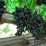 Аттика-виноград-фото