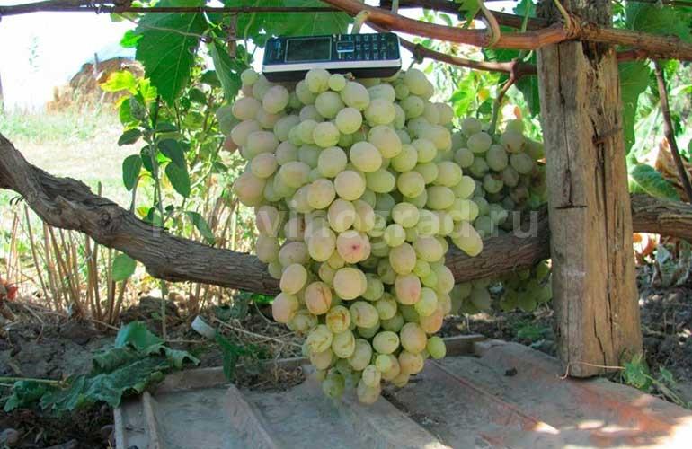 Гроздь-винограда-Тайфи-Белый-фото