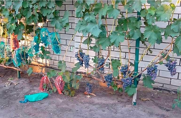 Грозди-винограда-Сфинкс-фото