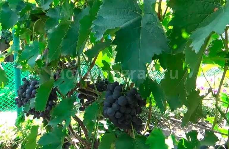 Гроздочки-винограда-Сфинкс-фото