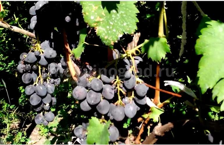 Как-выглядит-сорт-винограда-Сфинкс-фото
