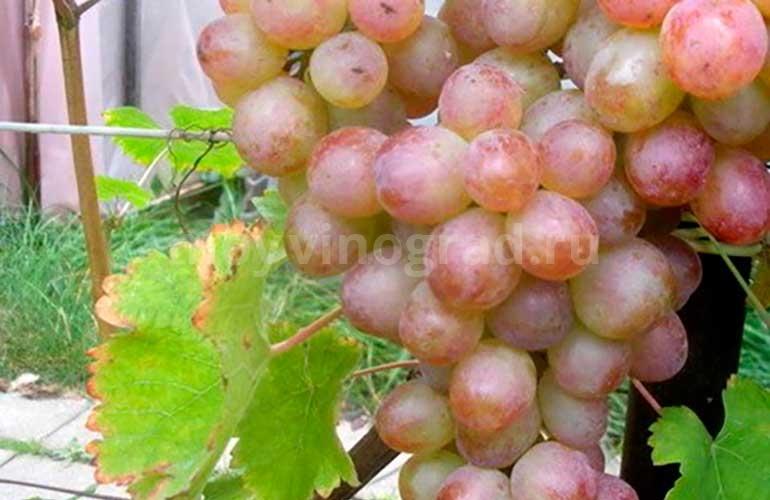 Как-выглядит-виноград-Амирхан-фото