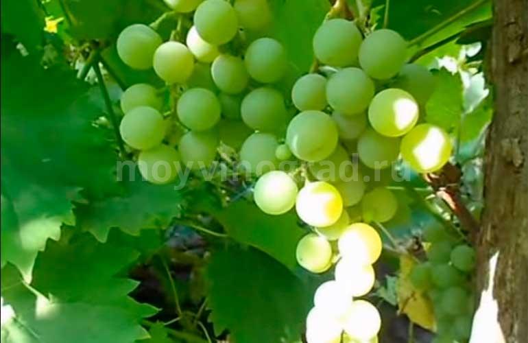 Как-выглядит-виноград-дружба-фото
