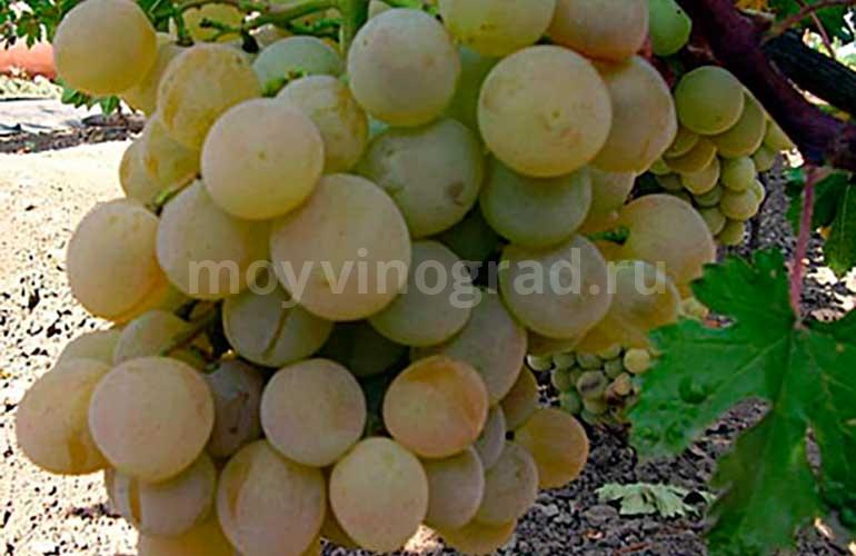Кисть-винограда-Агрус-фото