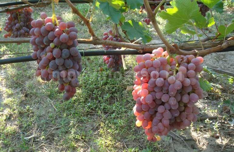 Сорт-винограда-Тайфи-Розовый-фото