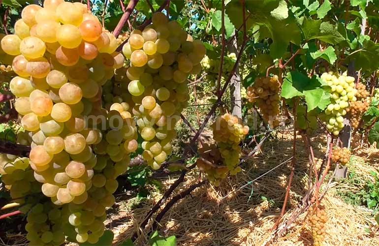 Сорта-винограда-платовский-фото