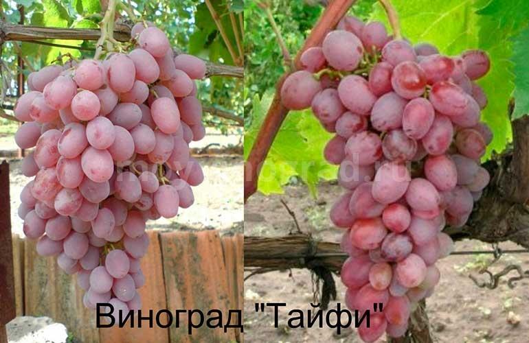 Сравнение-кистей-Тайфи-Розовый-фото