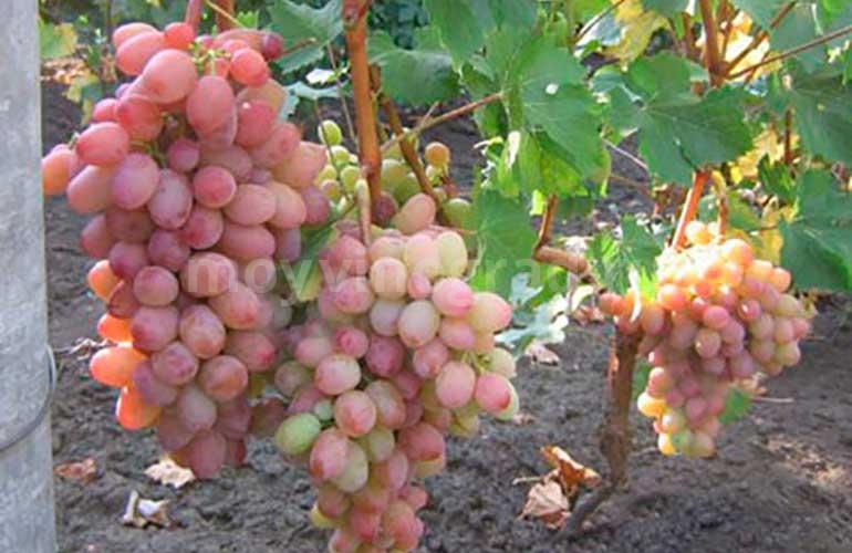 Урожай-сорта-винограда-Амирхан-фото