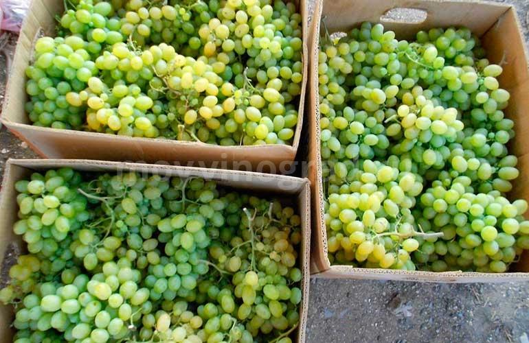 Урожай-винограда-Агрус-фото