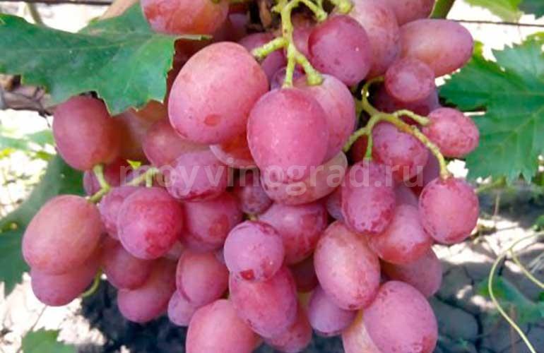 Виноград-Амирхан-фото