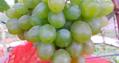Виноград-Лиза-фото