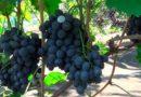 «Сфинкс» — отлично себя зарекомендовавший сорт винограда