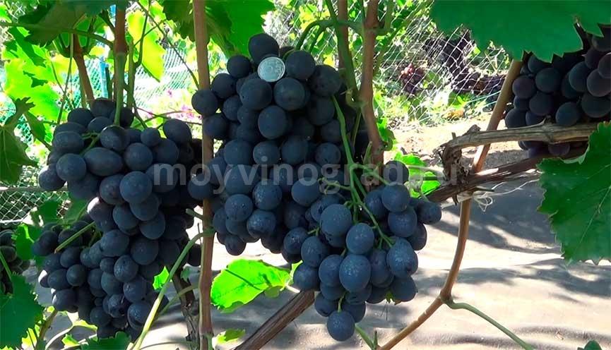 Виноград-Сфинкс-Загорулько-фото