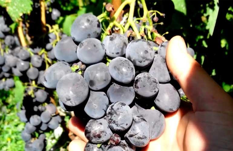 Виноград-Сфинкс-фото
