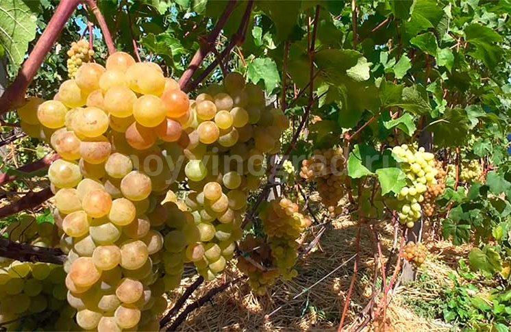 Виноград-платовский-набравший-сок-фото