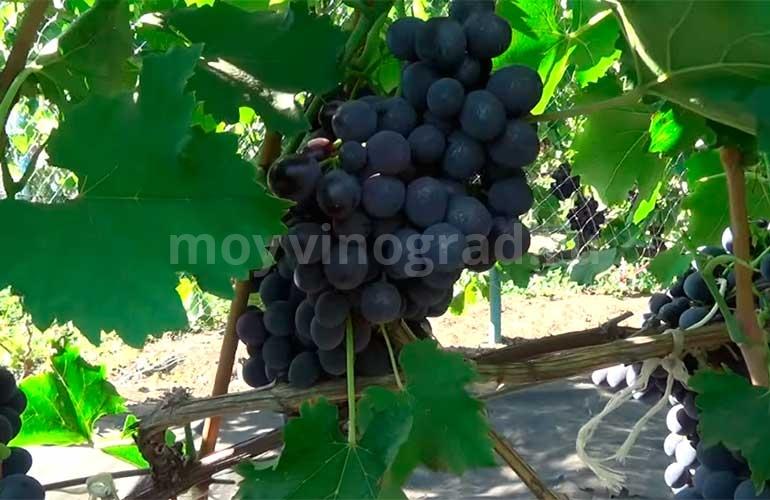Ягодки-винограда-Сфинкс-фото