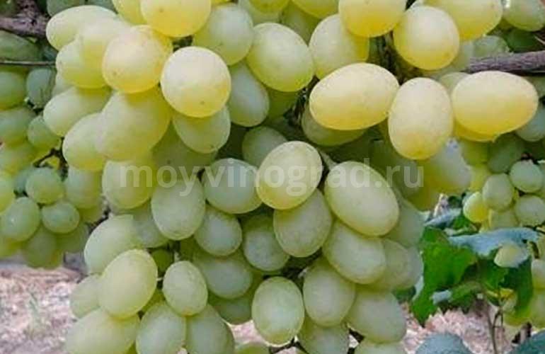 Ягоды-винограда-Агрус-фото
