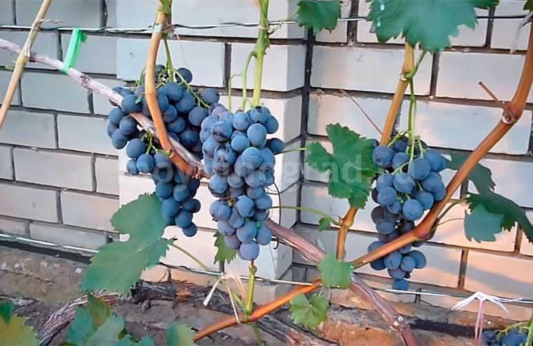 Ягоды-винограда-Сфинкс-фото