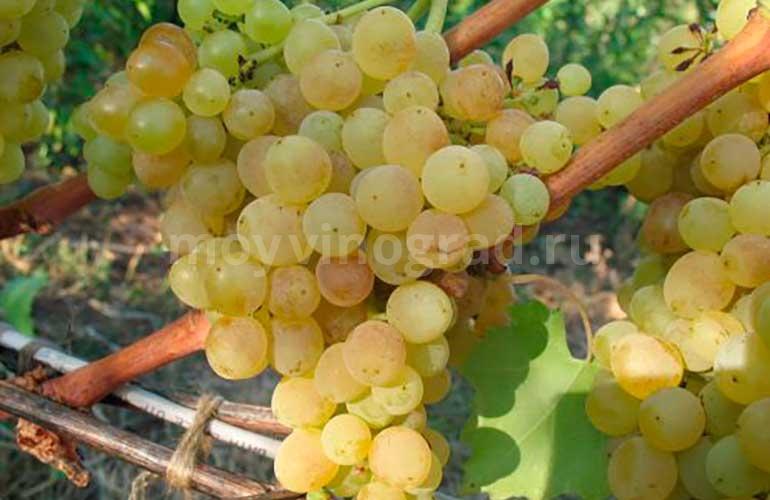 Ягоды-винограда-дружба-фото