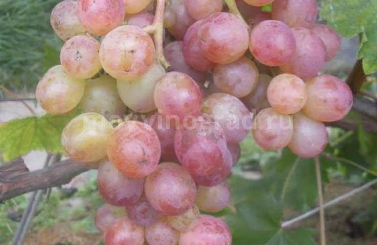 кисть-винограда-Амирхан-фото
