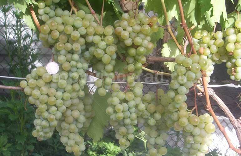 сорт-винограда-дружба-фото