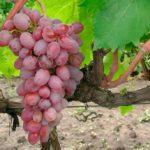 виноград-Тайфи-розовый-фото